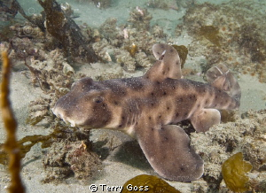 A great find in the Channel Islands, a horn shark (Hetero... by Terry Goss 